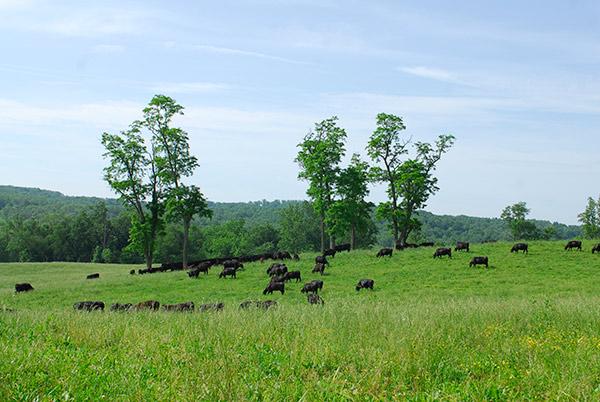 Roseda Beef Cows